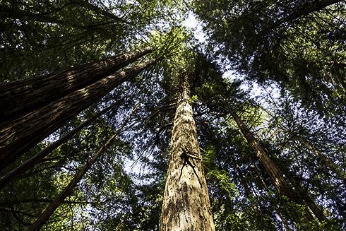 Redwoodträd i Muir Woods