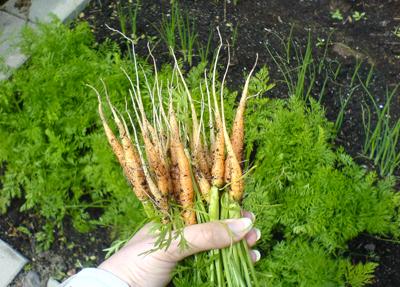 Bortgallrade morötter