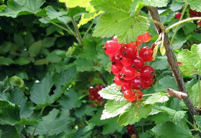 Röda ljuvliga vinbär